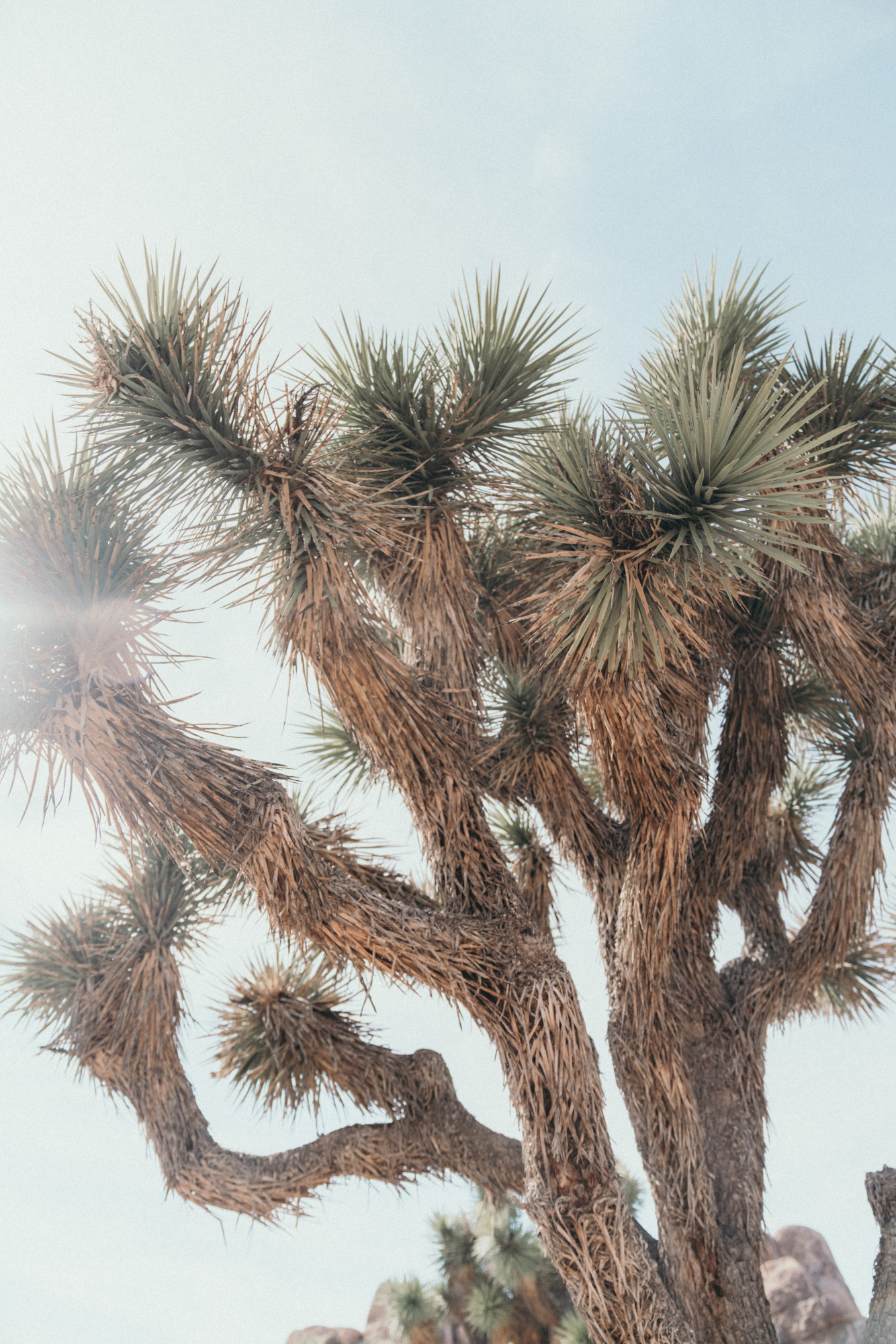 close up of a joshua tree
