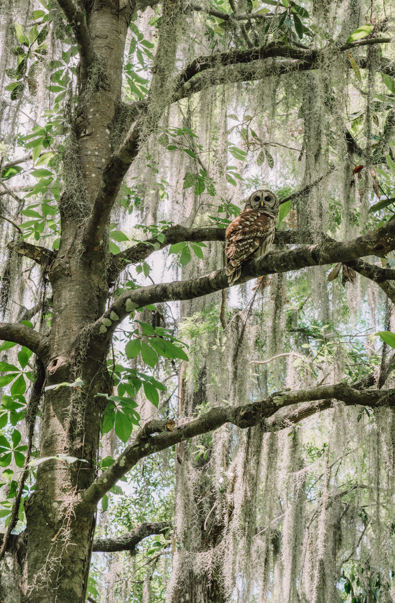 Things to do in charleston sc with kids - a big barn owl looks down from a tree covered in spanish moss.